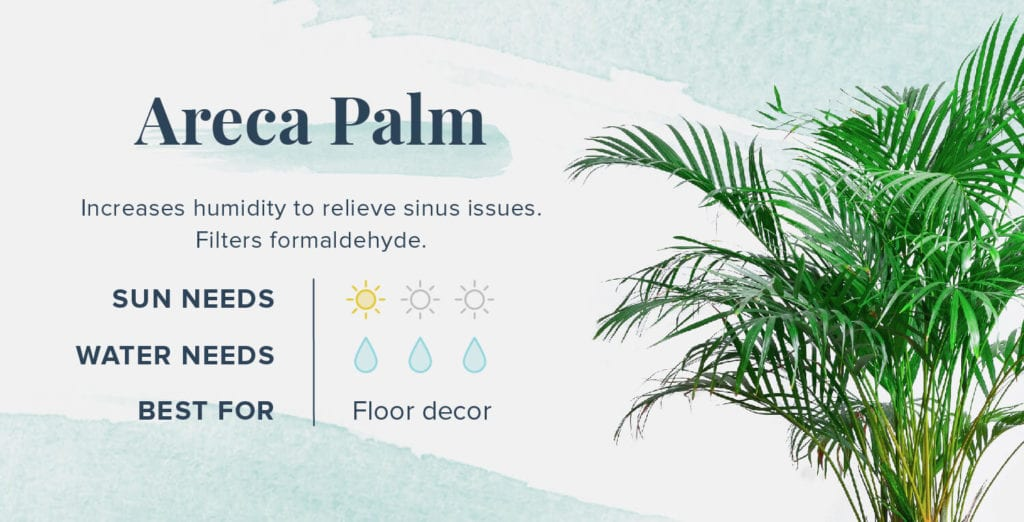 Plants That Help You Sleep Better - Areca Palm