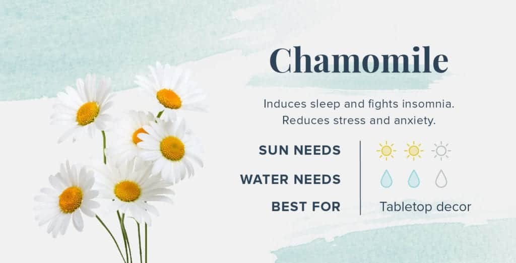 Plants That Help You Sleep Better - Chamomile