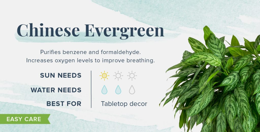 Plants That Help You Sleep Better - Chinese Evergreen