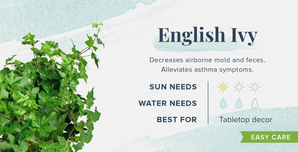 Plants That Help You Sleep Better - English Ivy