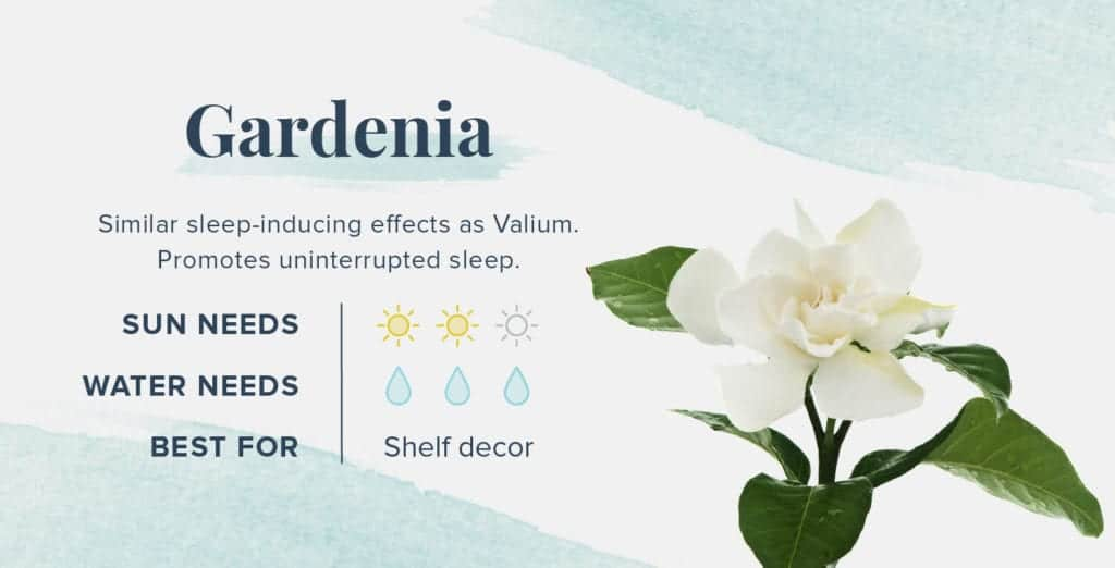 Plants That Help You Sleep Better - Gardenia