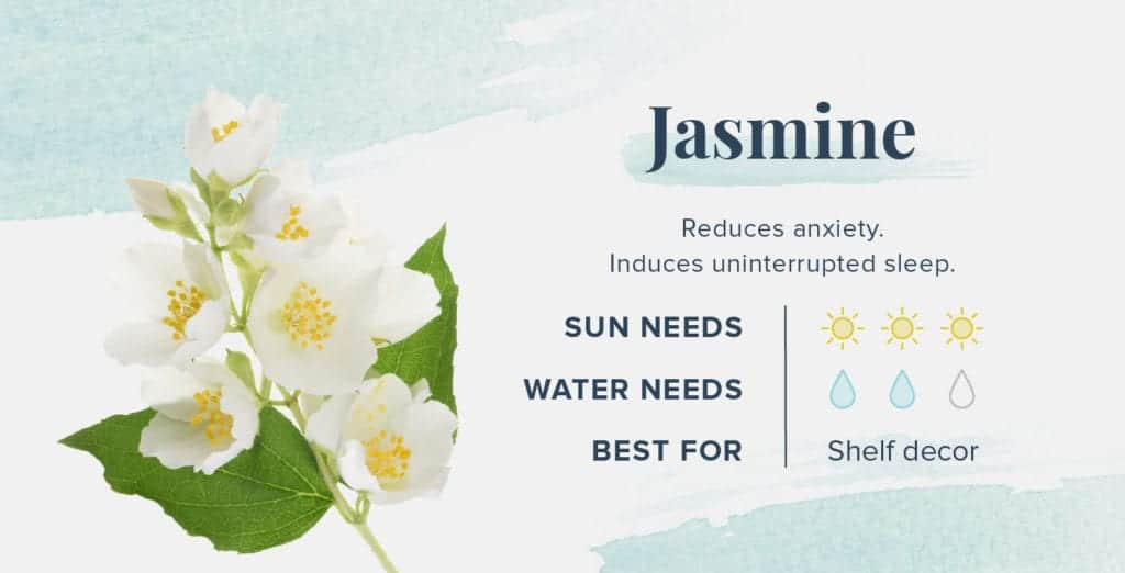 Plants That Help You Sleep Better - Jasmine