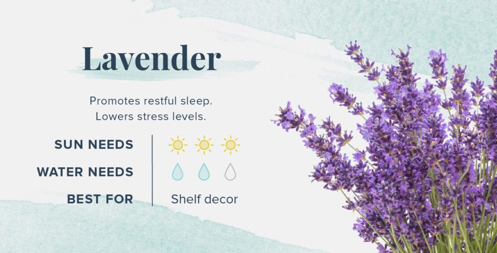 Plants That Help You Sleep Better - Lavender