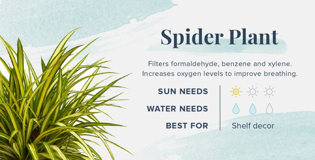 Plants That Help You Sleep Better - Spider Plant